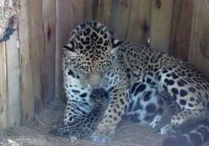 Argentina Jaguar Cubs
